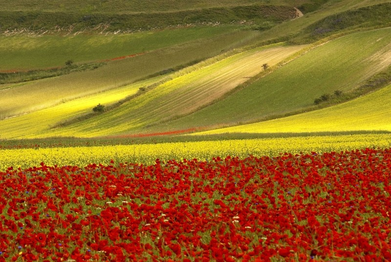 Das rot-gelbe Meer von Castelluccio