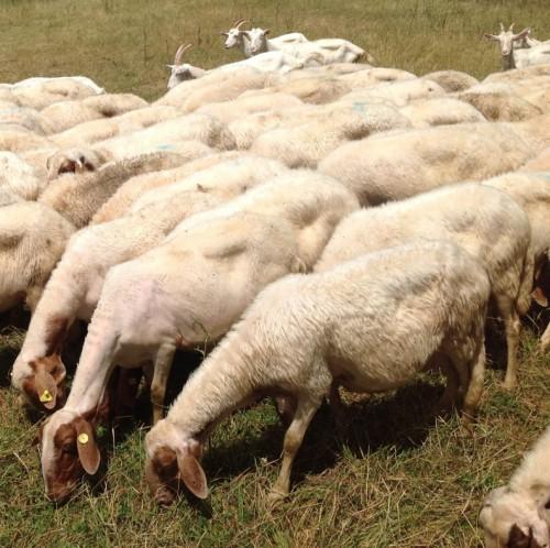 Schafsherd