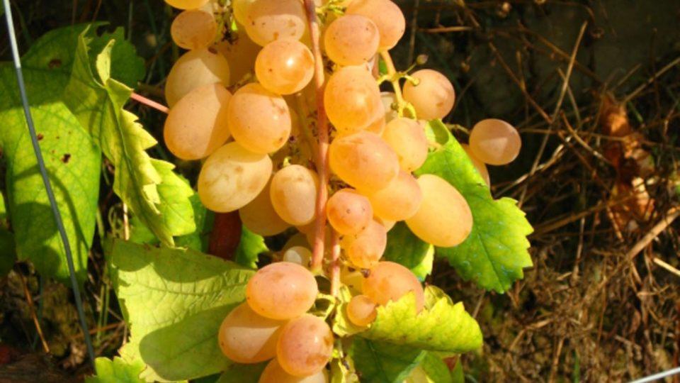Weisse Trauben in Ligurien