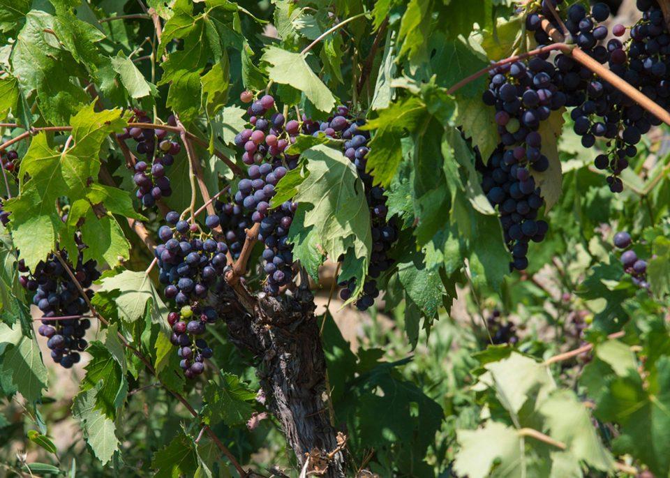 Rote Weintraube in Poggielmo