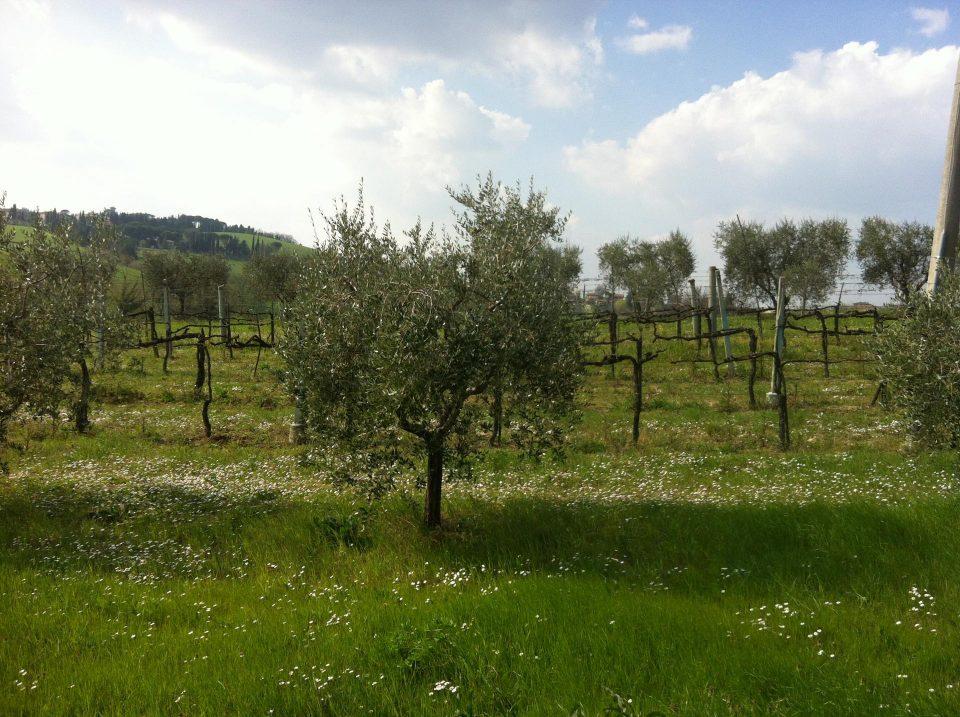 Olivenbäume und Wein in Umbrien