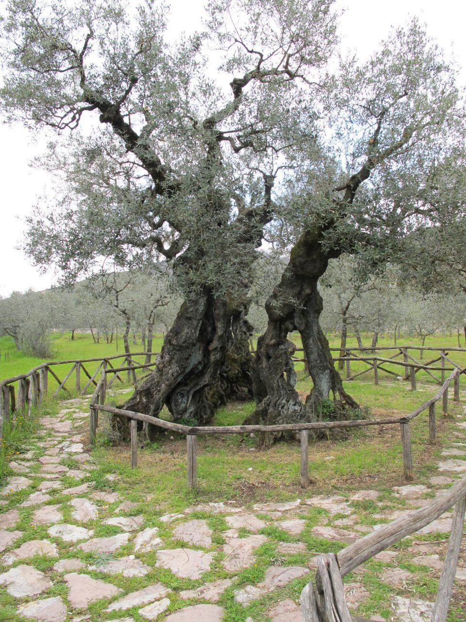 Das Idol: ein jahrhundert alter Olivenbaum
