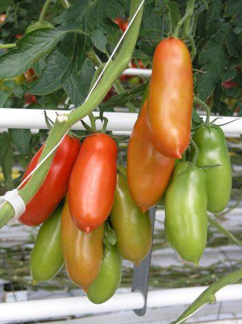 SanMarzano Tomate