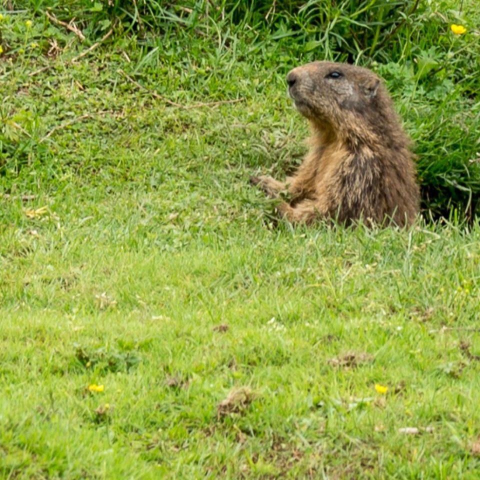 Murmeltiere sind scheu aber manchmal hat man Glück und kann sie auf einer der Wanderungen in der Hochebene der Lessinia beobachten
