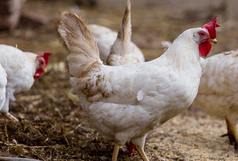Livornese Hühner