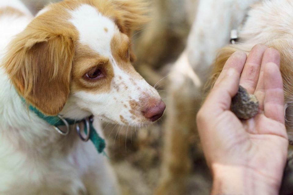 Ein Trüffelhund – treuer Helfer bei der Trüffelsuche