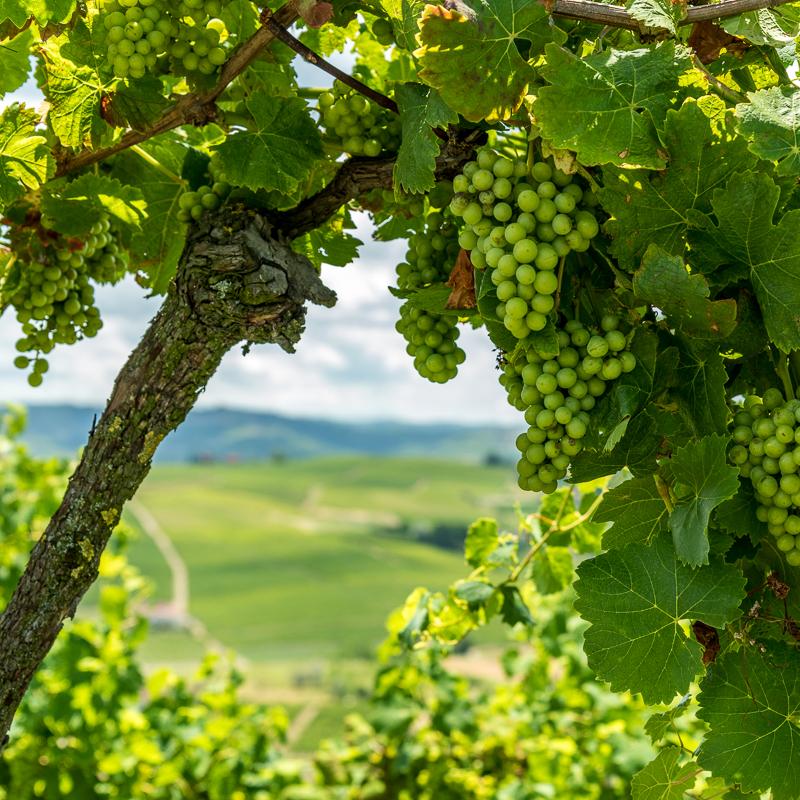 Reben im Piemont