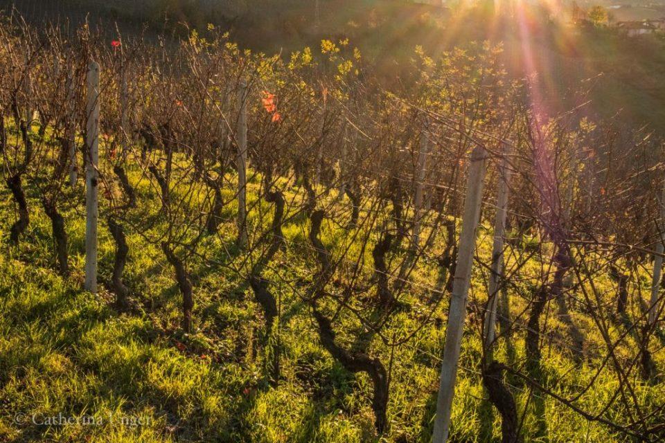 Sonnenuntergang in den Weinbergen des Piemont